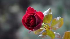 P1620241 (Rose Solitude) Tags: