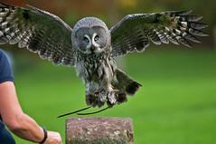 _DSC3738a (Kulu40) Tags: nikon greatgreyowl raptor owl d300 afsnikkor300mmf4difed internationalcentreforbirdsofprey