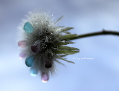 Magical Wish (beachgirly1116) Tags: abstract childhood weed dandelion dreamy wish whimsical macrodandelion dandelionwaterdrops