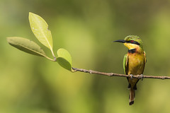 Little-Bee Eater (Merops pusillus) perched on a mangrove branch (Dave Montreuil) Tags: africa bird branch sitting adult little african fulllength nobody bee mangrove westafrica perch gambia perched senegal eater frontview thegambia beeeater perching oneanimal thegambiawestafrica meropspusillus kotu leastconcern