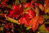25_octubre (Rucamon) Tags: hojas rojo 7d otoño león tonalidades reto365 valdealiso rubéncaneda
