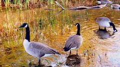 (mahler9) Tags: birds october belmont massachusetts goose canadageese 2014 jaym littlepond mahler9