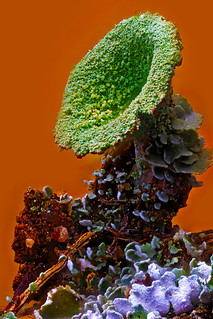 Color Vibrance Increased, Cladonia fimbriata, Trumpet moss, Haddam, CT