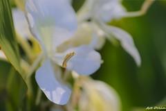_Q9R0677-1 (Dream Deliver) Tags: flower closeup ginger lily hedychiumcoronarium gingerlily artdream coronarious