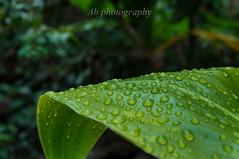 ti leaf (borrowborrow20) Tags: nature water rain hawaii nikon rainy bigisland nikondigital nikondslr nikonphotography nikonshot nikond5000