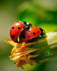 Ladybug Love (Andreas Krappweis - thanks for 1,9 million views!) Tags: love bug insect ladybug sigma28105mmmacro sonyalpha850