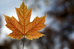 Maple Leaf (Zachary.Weiler) Tags: autumn red color detail fall 50mm leaf bokeh mapleleaf nikkor smoothbokeh d3100 nikond3100