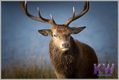 IMG_0893.jpg (kishwphotos) Tags: nature stag wildlife deer mammals reddeer richmondpark deerrut