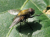 Pollenia rudis (beneventi2013) Tags: diptera calliphoridae canonpowershota610 brachycera paolobeneventi