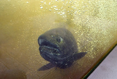 Here I come! (U.S. Fish and Wildlife Service - Midwest Region) Tags: wisconsin chinooksalmon fish salmon sportfishrestoration wildlifeandsportfishrestoration wildlife partner wsfr animal departmentofnaturalresources dnr