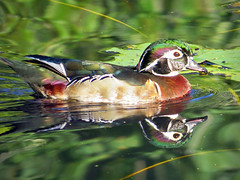 Wood Duck_inter-sex (Birdman of Beaverton) Tags: dawsoncreek woodducks intersex oregom sx50