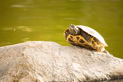 Basking in the Sun (AdrienneCredoPhotography) Tags: california park sun lake nature rock nikon turtle mason irvine d3200