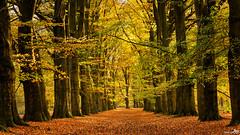 The wonderful autumn fairytale forest (BraCom (Bram)) Tags: autumn trees holland fall nature leaves fairytale forest canon bomen utrecht widescreen branches herfst nederland thenetherlands natuur 169 bos sprookje amerongen utrechtseheuvelrug canonef24105mm simplysuperb amerongsebos bracom canoneos5dmkiii