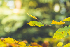 autumn bokeh #3 (Schub@) Tags: autumn light nature forest licht woods colours bokeh g sony herbst natur e alpha leafs wald bltter f4 farben lightroom pz oss nex 18105mm a6000