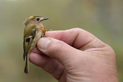 Goldcrest (Kentish Plumber) Tags: uk england male bird nature kent wildlife gio southeast bto warbler goldcrest birdwatcher regulusregulus nbw bwg birdwatchinggroup