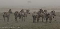 Zebras in heavy rain (kerrybluett100) Tags: rain zebra masaimara kenyasafari photographersonsafari maranorthconservancy canon5dmk111 canon300f28mk11 kichechekenyasafari