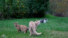 A Magnificent Trio Of Good Friends  (Xena*best friend*) Tags: wood autumn wild italy pet cats pets cute animals fur photography chats furry woods feline flickr shots bs tiger kitty kittens whiskers piemonte gato calico purr meow paws bp miao bradpitt gatto georgeclooney katzen pussycat markings gc britneyspears miau feral wildanimals allrightsreserved alleycatallies piedmontitaly canonef70300mm canoneos500d eosrebelt1i