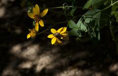 _MG_8027 (sir_mac_alot66) Tags: life black flower nature buzz fotografie petal bee fotografia honeybee mothernature thegreatoutdoors fotografa   fotograph fotoraflk