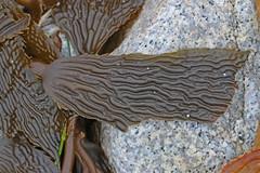 CAC009656a (jerryoldenettel) Tags: ca kelp pointpinos 2014 macrocystis laminariales phaeophyceae laminariaceae montereyco macrocystisintegrifolia perennialkelp giantperennialkelp