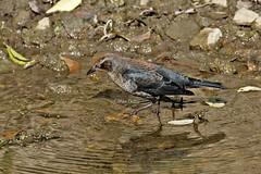 Rusty Blackbird - male (krzirsh - Mike) Tags: