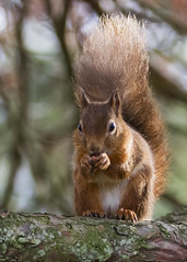 little red (deedaw) Tags: tree branch tail tufts littlered redsquirrel