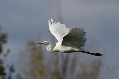 Grande aigrette (Jean Louis Boué) Tags: grande alba great ardea western » egret « aigrette ardéidés pélécaniformes mazèresddo