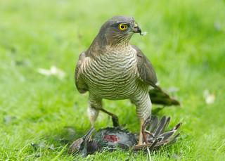 Sparrowhawk by Sue (again!)