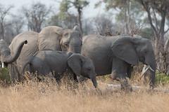 elephants (whkubik) Tags: delta afrika botswana moremi okavango d800 rudel 80400mm gamereserve elefanten botsuana nordwest binnendelta