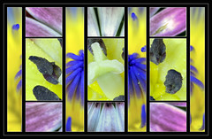 Experimenting (Wilf41) Tags: flowers macro collage lily experiment tulip osteospermum