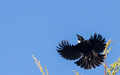 Tui (Raikyn) Tags: newzealand bird flight nz tui