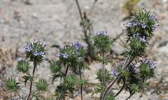 IMG_8107 Skunkweed - Navarretia squarrosa (Jon. D. Anderson) Tags: flower stinkweed skunkweed wawildflowers navarretiasquarrosa