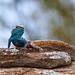 Southern Rock Agama (Agama atra) male