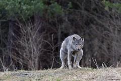 Wilk - Trochę intymnie.... (Zdjęć kilka...) Tags: wilk marzec 2017 nikon triopo benro gh2 d750 bieszczady wiosna las lasy nadleśnictwo fotografia przyrodnicza wolf natura nature wild podkarpacie polska poranek moje hobby