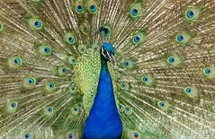 Peocock! (Premal Dhruv Photography) Tags: 2016 nj newjersey turtlebackzoo usa animals beautiful birds day sunny peocock feathers beauty