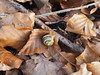 Banded snail. (dave p brecks) Tags: bandedsnail day52 mollusc olympus1442 olympusem10markii