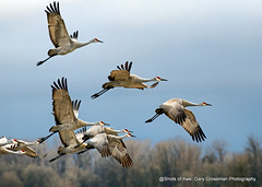 Winter Light (Gary Grossman) Tags: sandhillcranes sauvieisland flock garygrossmanphotography wildlife winter wildlifephotography wildlifeart art birds birdsinflight pacificnorthwest winterlight clouds wet oregon nature