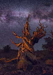 Kiss the Sky (Wayne Pinkston) Tags: pine tree bristlecone bristleconepine ancientbristleconepineforest california whitemountains sky night nightsky nightphotography nightlandscape nightscape waynepinkston wwwwaynepinkstonphotocom lightcrafter wwwlightcraftercom star stars starrynight starscape milkyway galaxy cosmos theheavens astrophotography landscapeastrophotography widefieldastrophotography nikon wideangle ancient
