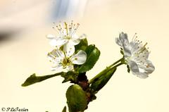 Les fleurs sont belle dès que le printemps revient 03 (letexierpatrick) Tags: fleurs flowers printemps nikon macro prunier couleurs colors jardin botanique floraison blanche blanc