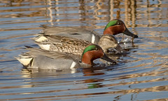 Trio of Teals (tresed47) Tags: 2017 201702feb 20170228bombayhookbirds birds bombayhook canon7d content delaware ducks folder greenwingedteal peterscamera petersphotos places takenby teal us
