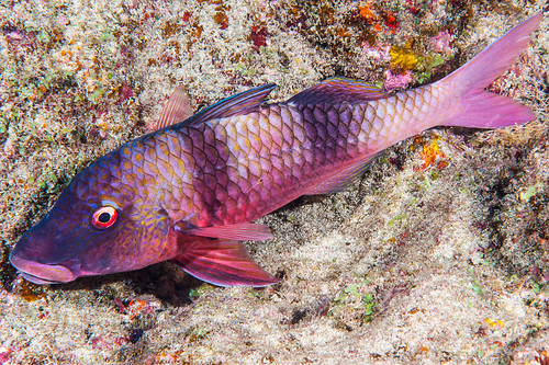 Indian doublebar Goatfish, red phase - Parupeneus trifasciatus