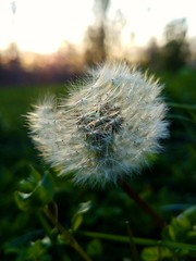 It's a dandy.. (kristie1elise) Tags: dandelion macro bokeh sunset nature puffy weeds grass spring s7