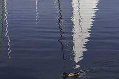 Un canard pressé (a duck in a hurry) (Larch) Tags: canard duck animal reflet reflection port harbour mât mast voile sail lac lake lacléman lakeofgeneva pressé inahurry nernier hautesavoie france