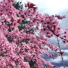 Cherry or Plum (miss-u) Tags: tree plumblossom cherryblossom plumblossoms cherryblossoms