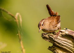 jenny the wren (blackfox wildlife and nature imaging) Tags: canon 7d 400mm f56l wren burtonmerewetlands rspb wirral
