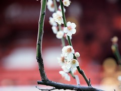 P2261648 (xytr99) Tags: flower plant white plumblossom 戶外 japan tokyo asakusa olympus nature