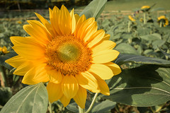 Blooming sunflower at Kawa-kawa hill, Ligao City, Albay, Philippines (Sarah Jane Navarrete) Tags: kawakawahill ligaocity albay