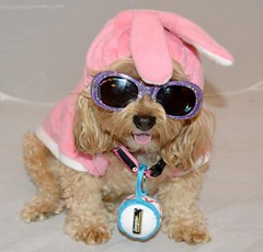 Energizer Sadie (yourdesignerdog) Tags: ifttt wordpress all posts wordless wednesday blog bunny costume ears cute designer dogs dog sunglasses easter energizer pets