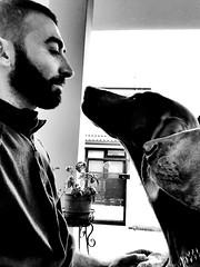 Guardami ! (cosimocarbone) Tags: compagni fedeltà amicizia love amore weimaraner amici dog cane