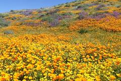Spring Wildflowers (joeksuey) Tags: california superbloom hemet diamondvalleylake wildflowers spring poppies phacelia goldfields forgetmenots bluedicks wildhyacinth canterburybells massdisplays muddyboots