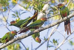 Blue-throated Parakeet_tiriba-grande_Pyrrhura cruentata